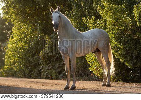 Beautiful Full Body Portrait Of A White Spanish Horse Stallion At Sunset