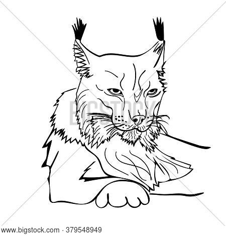 Sketch Style Portrait Of Lynx Isolated On White Background. Wild Bobcat Black And White Sketch Icon.