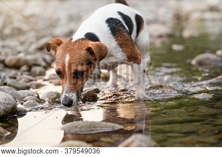 Small Jack Russell Terrier Walking Near Shallow River Shore, Exploring Water And Wet Stones, Closeup