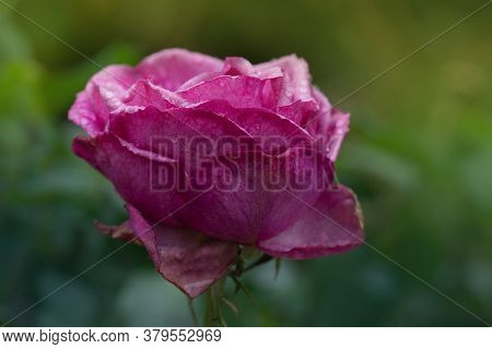 Purple Dry Dead Rose Flower. Spoiled Rose Buds Close Up.