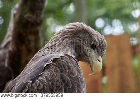 Sea Eagle, Lataine Haliaeetus Albicilla, With Yellow Beak And Brown Plumage Looks To The Ground