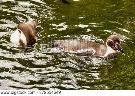 Two Humboldt Penguins, Spheniscus Humboldti, From The Genus Jackass Penguins, Swimming In The Water