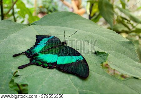 Emerald Green Butterfly Sits On Foliage. Papilio Palinurus, The Emerald Swallowtail, Emerald Peacock