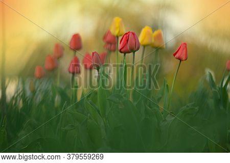 Mix Color Tulip Flower. Mix Of Tulips Flowers In Garden