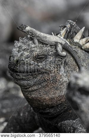 Galapagos funny animals - Marine Iguana with smaller marine iguana on its head. Cute Amazing wildlife animals on Galapagos Islands, Ecuador.