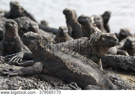 Galapagos Marine Iguana - Iguanas warming in the sun on volcanic rocks on Fernadina Island, Espinoza Point. Amazing wildlife animals on Galapagos Islands, Ecuador.