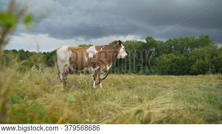 Beautiful Red Cow Stands In The Meadow Against The Background Of The Forest. A Young Red-haired Cow