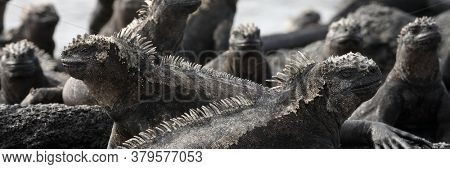 Panoramic banner of Galapagos animals - Marine Iguana with smaller marine iguana on its head. Cute Amazing wildlife animals on Galapagos Islands, Ecuador.