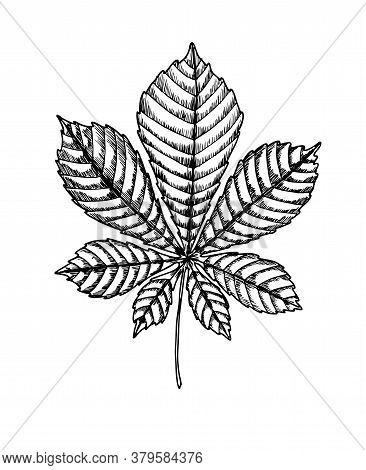 Chestnut Leaf. Isolated On White Background. For Cards, Invitations, Congratulations, Party Feeding,