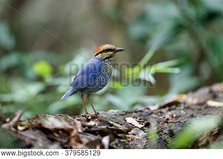 Adult Male Blue Pitta, Low Angle View, Side Shot, In The Morning Standing On The Decayed Fallen Tree