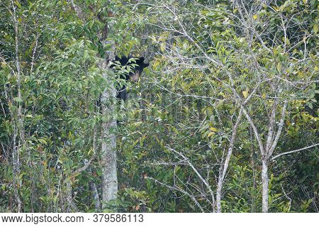 Juvenile Asian Black Bear, Also Known As White-chested Bear, High Angle View, Side Shot, Climbing On
