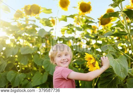 Preschooler Boy Walking In Field Of Sunflowers. Child Playing With Big Flower On Sunset And Having F