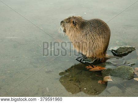 Nutria Sitting Close To The Water On A Stone