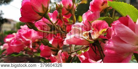 Blooming Pink Spray Roses. Floral Background. Beautiful Pink Spray Roses. Banner