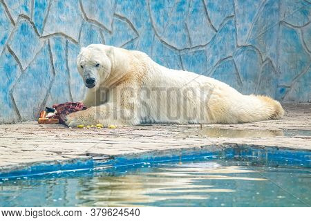 Polar Bear Or Ursus Maritimus In Captivity Eats Meat Next To Pool