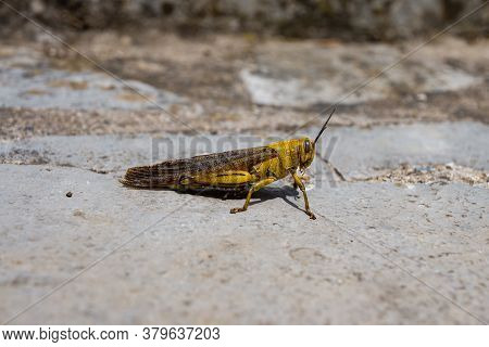 Yellow Grasshopper Waiting On The Floor, In France At Summer