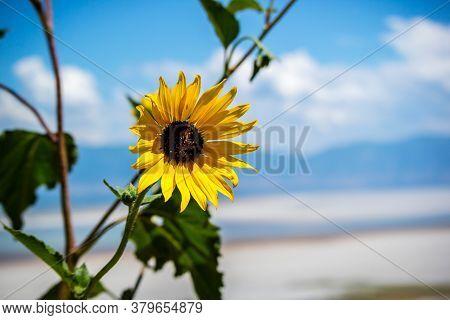 Black Eyed Susan Flower In Antelope Island State Park, Utah
