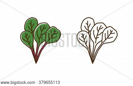 Natural Organic Mangold Plant With Leaves Vector Flat Illustration. Set Of Monochrome And Colorful C