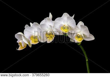 Beautiful Delicate Orchid Flowers With White Petals And Yellow Gold Centers Gracefully Arc On A Gree
