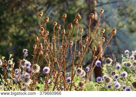 Thorny Plants And Flowers On A Background Of Green Grass In A Forest Glade In Israel
