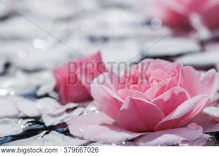 Pink Rose Flowers And White Petals With Drops And Blur Light Background. For Water Festival Or Spa