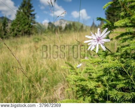 Scorzonera Rosea Flower On A Meadow With Mountains In The Background.