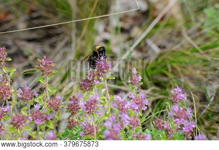 Bumblebee, Insect Collects Pollen From Flowers In A Meadow, Sunny Day, Close-up