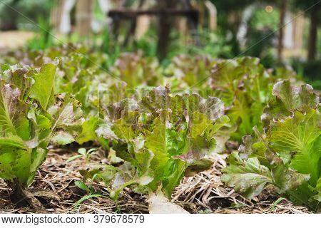 Fresh Red Oak Lettuce Vegetable Growth On The Organic Farm.