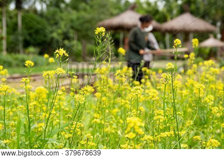 Yellow Flower Of Fresh Organic Chinese Cabbage Or Choi Sum Vegetable In Garden.