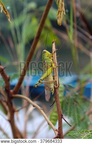 Green Grasshopper Perched On A Tree Branch
