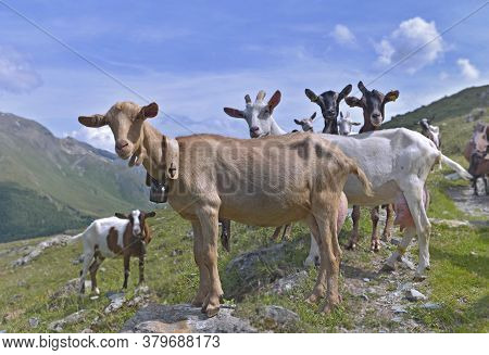 Group Of Goats Of Alpine Flock In The High Mountain Looking Camera