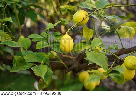 A Close-up Of The Yellow Lemon Fruit On The Branches Of The Tree Among The Foliage.