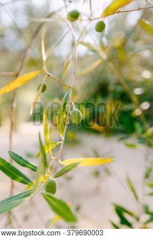 A Close-up Of Green Olive Fruit On The Branches Of The Tree Among The Foliage.