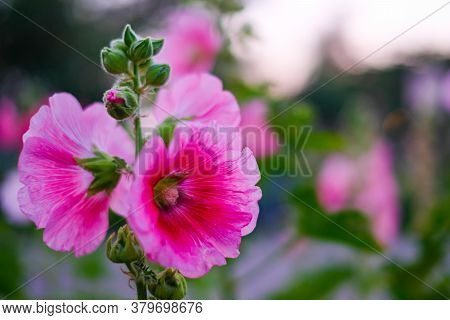 Hollyhock Or Alcea Rosea. Pink Color Flower Blooming.