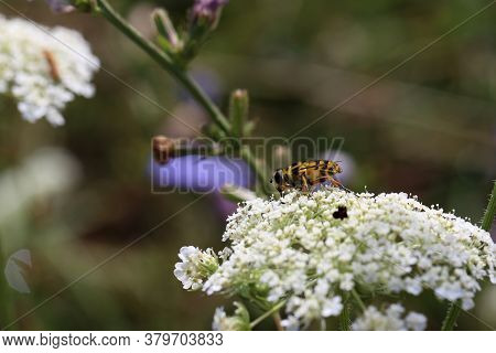 Bee Collects Nectar On White Flowers In Summer