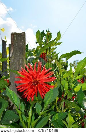 Dahlia Blooms, Close-up. Shrubs In The Garden On A Sunny Day. Decoration Of Fences With Flowers In T