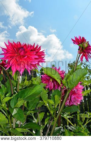 Dahlia Bush Close-up Against A Blue Sky And White Clouds. Shrubs In The Garden On A Sunny Day. Decor