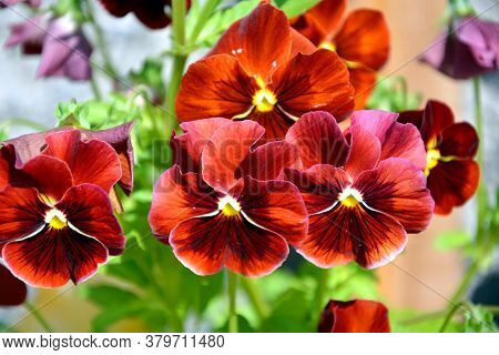 Pansies Of Unusual Colors Grow In A Flower Bed. Flowering Shrubs In The Garden On A Sunny Day.
