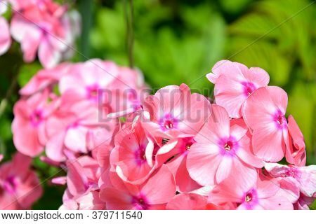 Phlox Flowers Close-up. Flowering Shrub In The Garden On A Sunny Day.