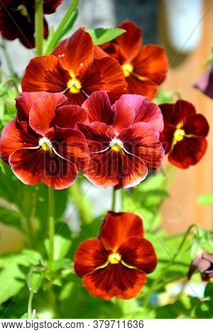 Pansy Flowers In Maroon Colors Grow In A Flower Bed. Flowering Shrubs In The Garden On A Sunny Day.