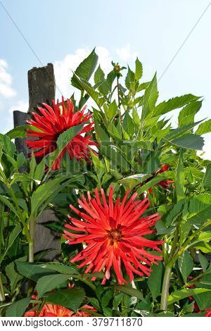 The Dahlia Blooms. Shrubs In The Garden On A Sunny Day. Decoration Of Flower Beds In The Garden.
