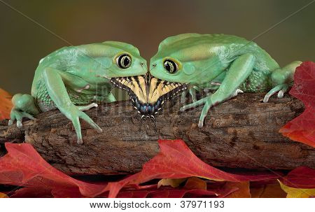 Two Frogs Eating One Butterfly
