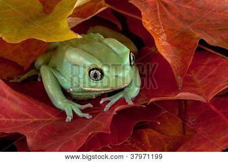 Frog Hiding In Leaves