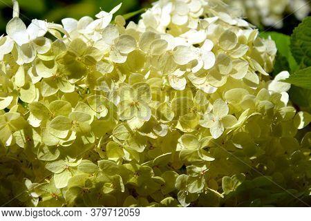 White Hydrangea, Autumn Flowering. Flowering Shrubs In The Garden On A Sunny Day.