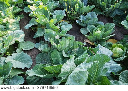 Freshly Grown Cabbage In The Farmer's Garden.garden Planted With Cabbage, Evening Sunset