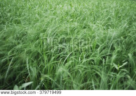 Green Rice Field In Blurred Motion Background Concept.