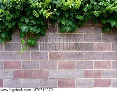 Ivy Growing On A Brick Wall. A Pink Brick Wall Twined With Ivy. Background.