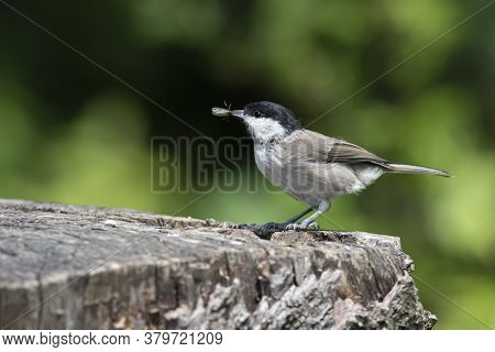 Coal Tit (periparus Ater) Caught  Insects  On An Old Wooden Stump In The Forest