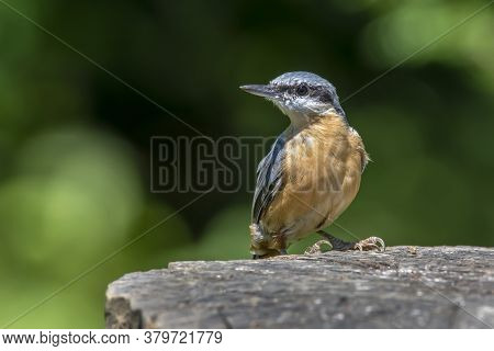 European  Nuthatch (sitta Europaea) On An Old Wooden Stump In The Forest