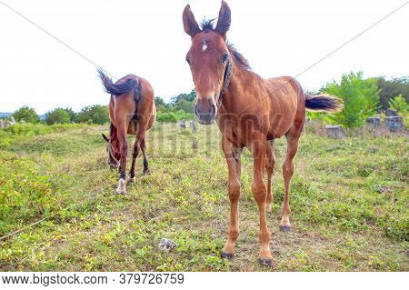 Full Length Portrait Of A Foal . Mother Horse And Colt At The Meadow